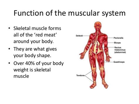 A Tour Of Your Muscular And Skeletal Systems muscular system lesson 1