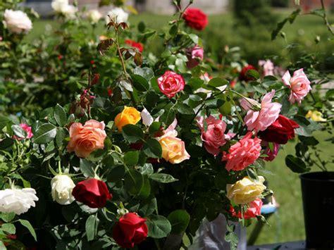 tipos de rosales cuidar de tus plantas es facilisimo poda de rosales cuidar de tus plantas es facilisimo com