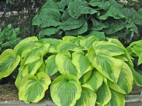 Vase Shaped Hostas by Hallson Gardens View Topic Your Favorite Upright Vase Shaped Hostas