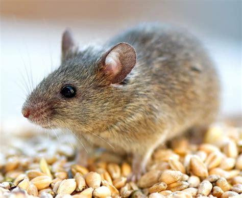 muizen in huis muizen in huis bestrijden hoe vang verjaag je