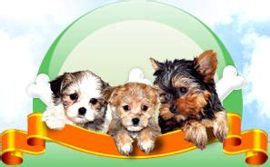 teacup yorkies for sale in cincinnati oh 25 best ideas about morkie puppies for sale on morkies for sale yorkie