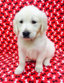golden retriever puppies for sale in bucks county pa puppies for sale lancaster puppies