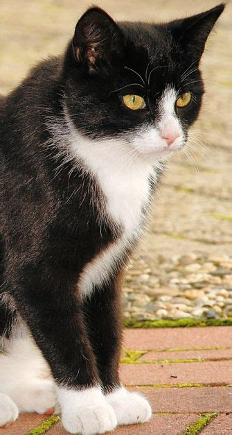 tuxedo cat facts and personality portrait cat breeds and color patterns