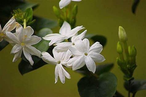 gelsomini in vaso gelsomino jasminum polyanthum jasminum polyanthum