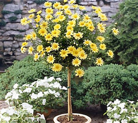 cottage farms yellow daisy patio tree qvccom