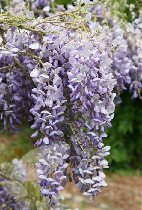 chinese wisteria wisteria sinensis buy chinese wisteria wisteria sinensis amethyst
