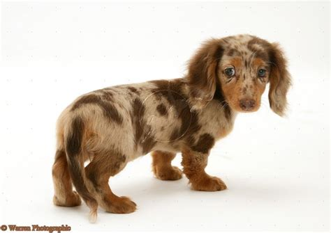 haired dapple dachshund puppies miniature dapple chocolate dachshund dachshund puppies dapple