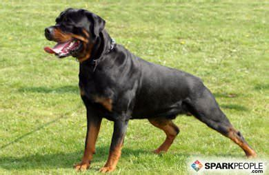 what diseases are rottweilers prone to the 6 most popular breeds sparkpeople