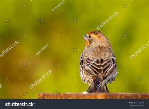 house finch breeding male house finch in breeding plumage seen from rear stock