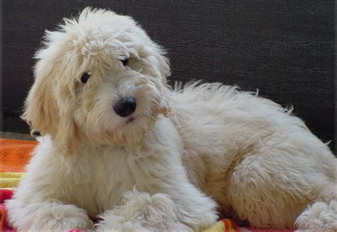 goldendoodle puppy progression goldendoodle puppies by moss creek goldendoodles in