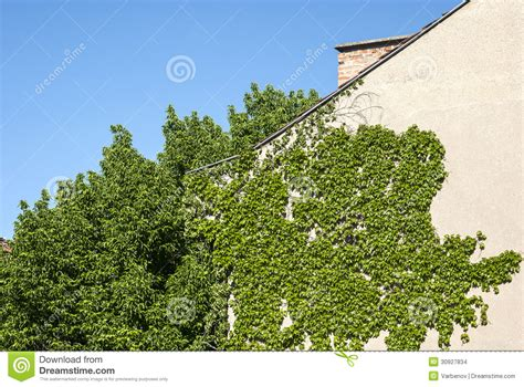 how to plant a climbing house wall with climbing plants stock photo image 30927834