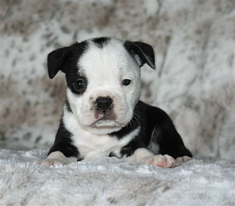 boston terrier puppies iowa puppies for sale boston terrier boston terriers bostons f category in
