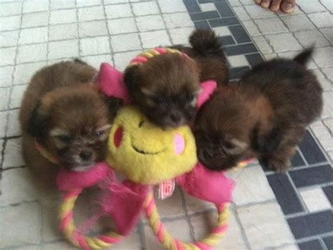 shih tzu pomeranian mix price shih tzu mix pomeranian chiwawa puppy for sale 2months baby for sale adoption from