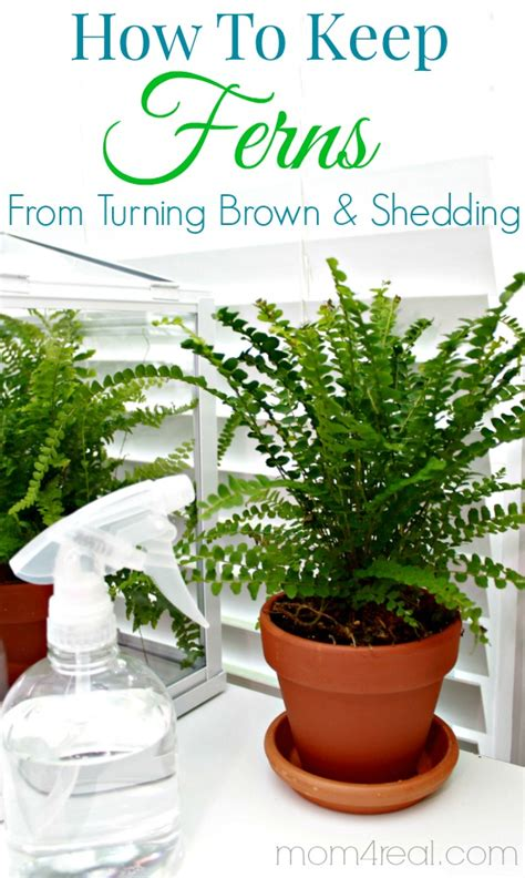 how to keep a from shedding how to keep ferns from turning brown tip of the day 4 real