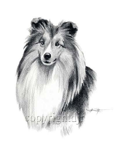 free coloring pages of how to draw sheltie