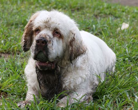 spaniel puppies pa barks all day when i m not home behavior blogs clumber spaniels