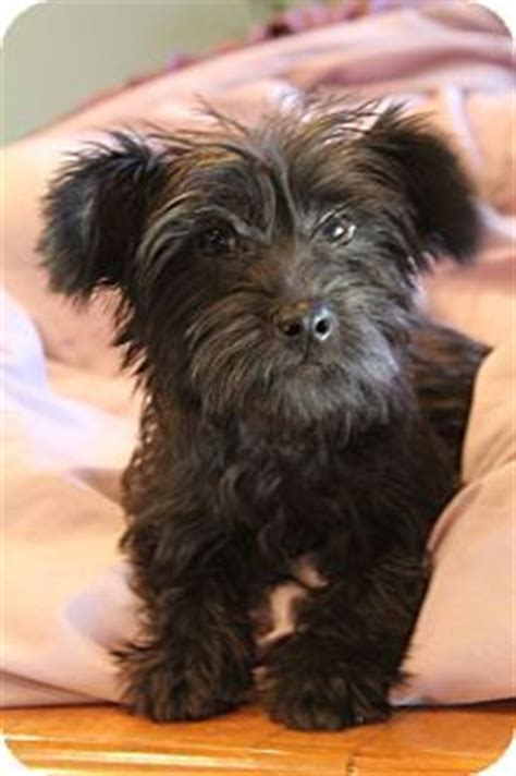 scottish terrier and yorkie mix chipoo poodle poodle black puppy chihuahua poochi chi poo poo chi i like it
