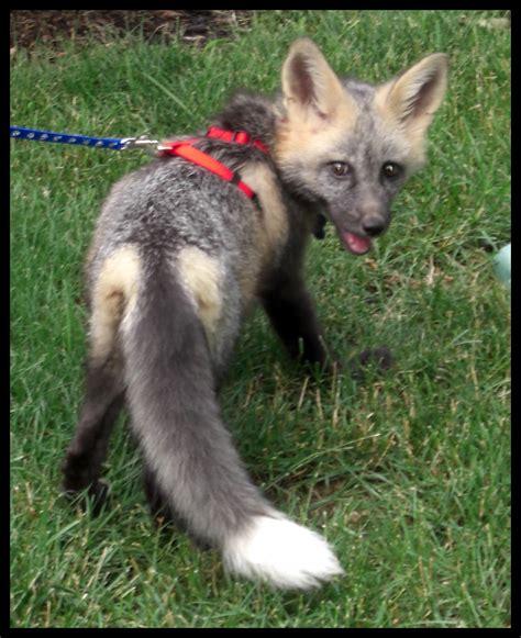 the pet fox pet fox behavior the october crazies