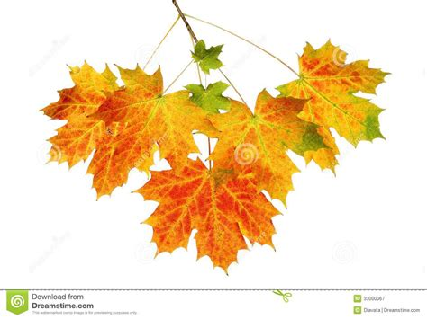 Fall Maple Leaves Stock Image Image Of Colourful Branch 33000067 Fall Leaves On White Background