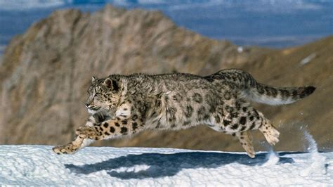 Stranger In The House blood of high altitude snow leopards surprisingly similar