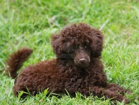 brown puppies puppy dogs brown poodle puppy