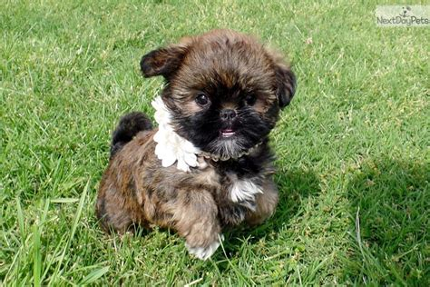 brussels griffon puppies for sale brussels griffon puppy for sale near st louis missouri 34635b99 5ea1