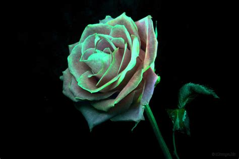 Bunga Mawar Alam Indah 20 gambar bunga mawar indah ini pasti akan menghipnotismu