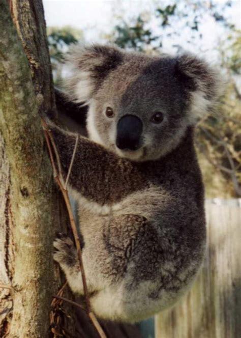 imagenes bellas de koalas im 225 genes de tiernos koalas para descargar