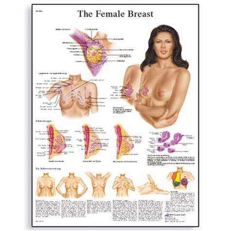 self breast diagram books posters software and guides morton supplies