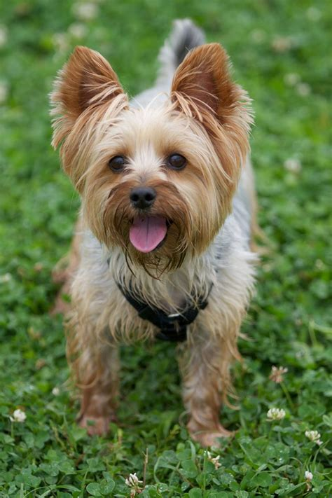 pictures of silky yorkies www silky yorkies pictures silky yorkie handsome happy boy tico four legs