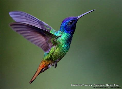 colorful hummingbirds amazing wallpapers