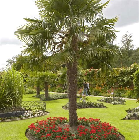 Palm Trees For Backyard by Windmill Palm Tree I Want 2 Of These For Front Yard I