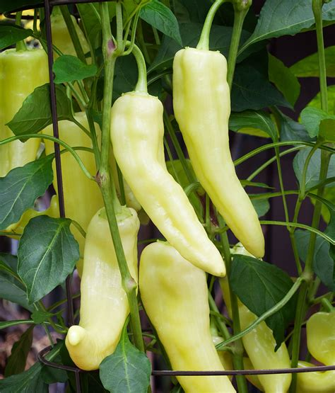 Sweet Banana sweet banana pepper sweet mild high yield