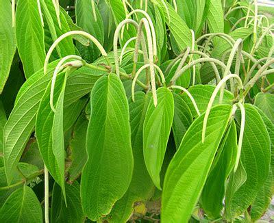 plantas medicinales descripcin y 8475565786 plantas medicinales plantas medicinales matico descripcion y usos medicinales