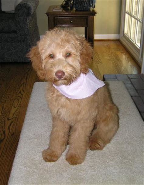 mini doodle f1b quality mini and medium goldendoodles in indiana
