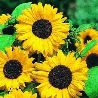 Benih Bibit Seeds Flower Lemon Sunflower Bunga Matahari Muda jual benih sunflower hallo 3 biji non retail bibit