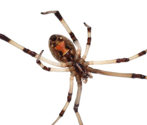 Garden Spider Behavior by Spiders Of Importance Venemous Spiders