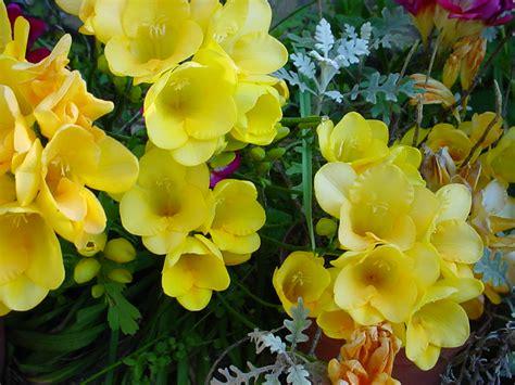 fresie fiori fresie bolognainfiore