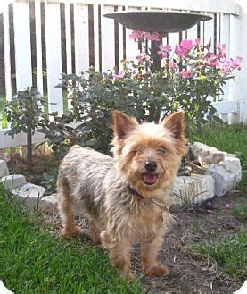 yorkie puppies central illinois bloomington il yorkie terrier mix meet jazzy a for adoption