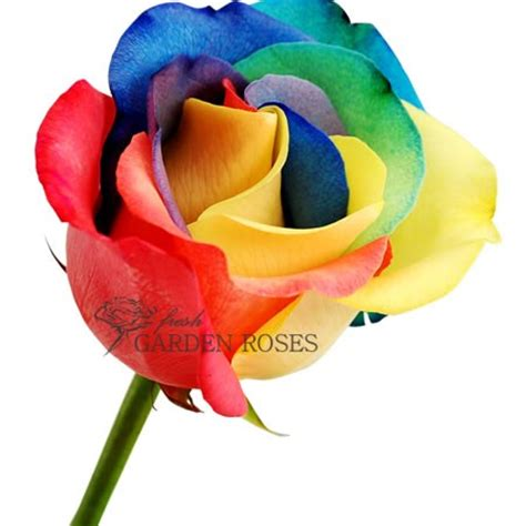 rainbow colored roses rainbow roses tie dye multi colored roses