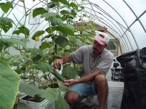 greenhouse cucumbers sharing seeds youtube