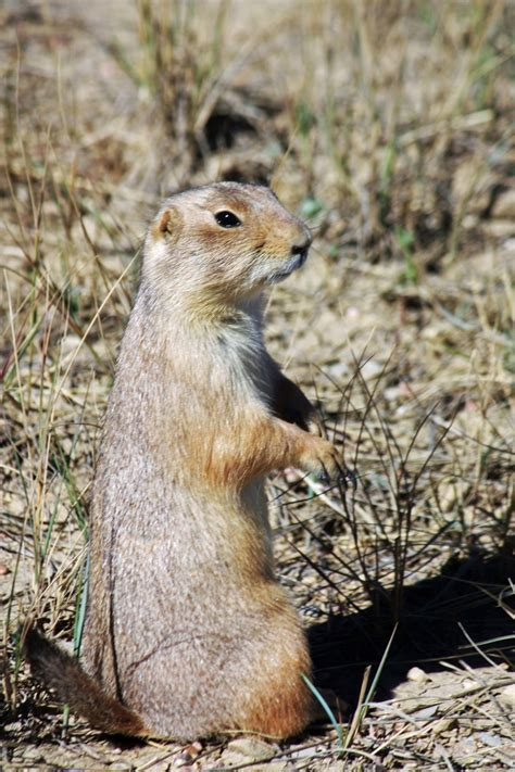 prairie plague plague riddled prairie dogs a model for infectious disease spread source colorado