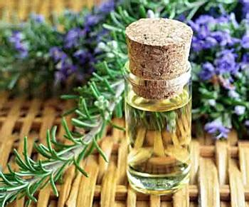 Minyak Esensial Rosemary 25 cara menghilangkan kutu rambut paling mudah alami dan uh diedit