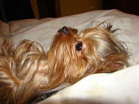 how to bathe a yorkie terrier yorkie a collection of animals and pets ideas to try terrier
