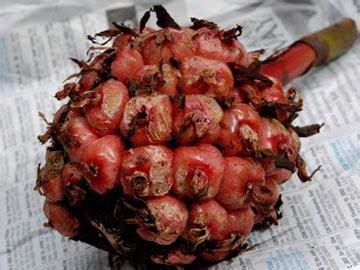 tumbuhan obat  sains kecombrang