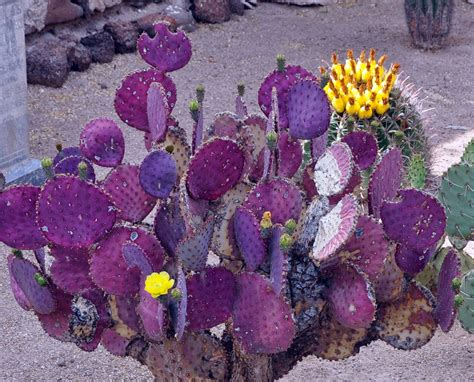 purple prickly pear hight desert plants and trees