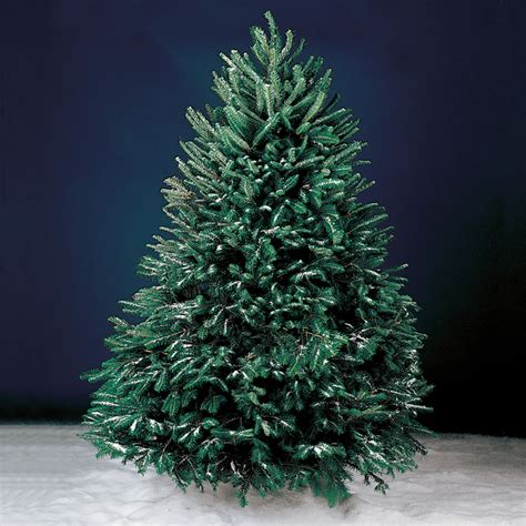 live christmas trees that come to you hammacher
