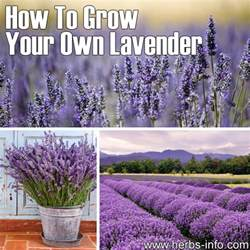 growing lavender plants how to grow lavandula dark brown hairs