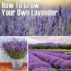 growing lavender plants how to grow lavandula dark brown