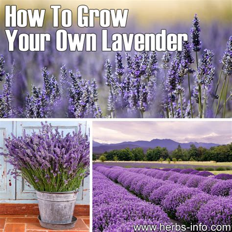 how to grow your own lavender herbs info